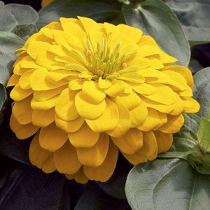 Magellan Yellow Zinnia