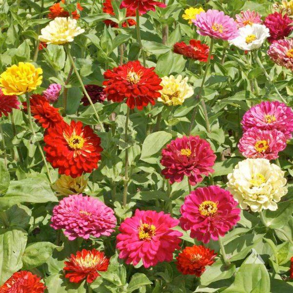State Fair Mix Zinnia Seeds