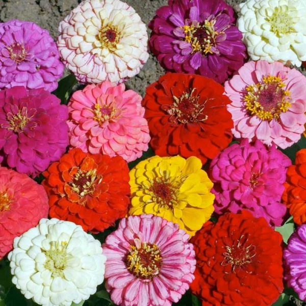 Cut and Come Again Zinnia Seeds