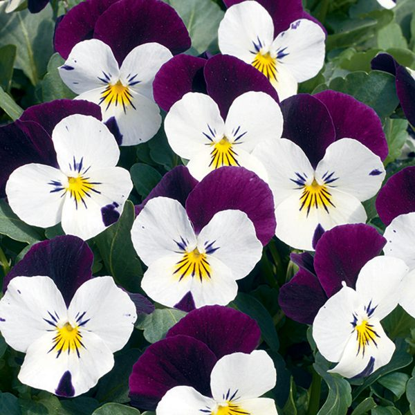 Penny White Jump-Up Viola