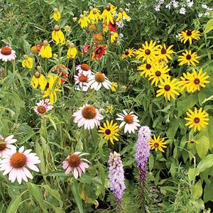 Native Perennial Wildflower Mix
