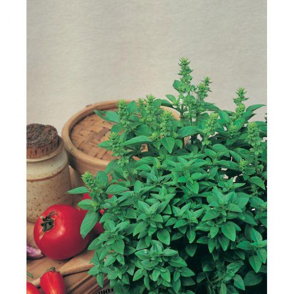 Spicy Globe Bush Basil