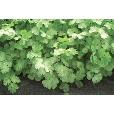 Santo Coriander/Cilantro Seeds
