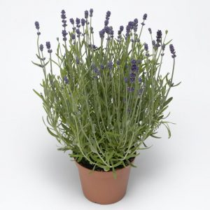 Blue Scent Lavender Seeds