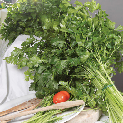 Gigante Catalogno Italian Parsley from our Italian Gourmet Seed Collection
