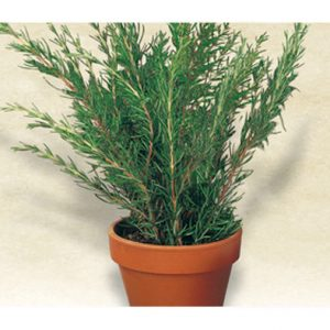 Italian Rosemary Seeds from our Italian Gourmet Seed Collection