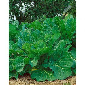 Portuguese Kale Couve tronchuda