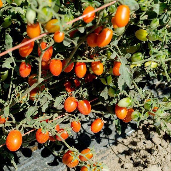 Candy Bell F1 Hybrid Tomato