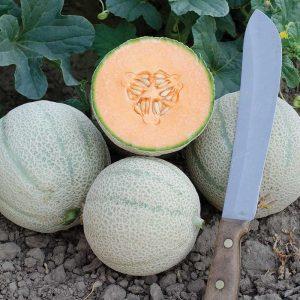 Skol F1 Hybrid Extra Long Shelf Life Melon