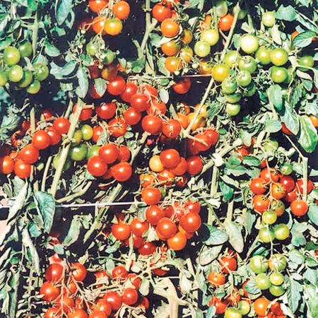 Garcia F1 Hybrid Cherry/Cocktail Tomato Seeds