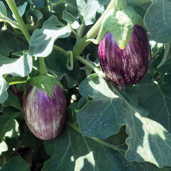 Bella Stripe F1 Hybrid Eggplant Seeds