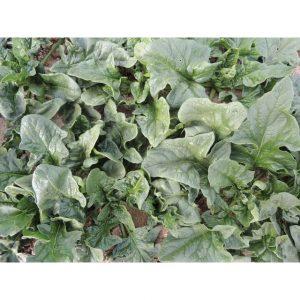Monstrueux de Viroflay Spinach Seeds