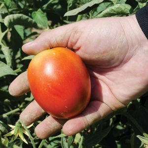 Marinara F1 Hybrid Determinate Roma Tomato Seeds