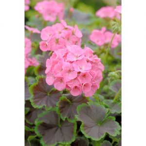 Black Velvet Rose Geranium Seeds