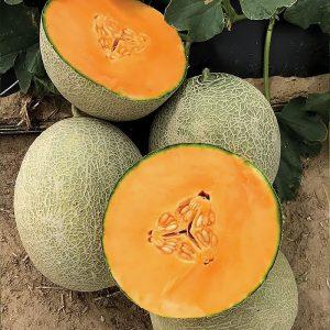 Amber Gold F1 Hybrid Melon