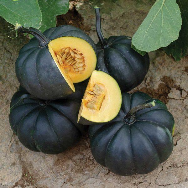 Black Kat F1 Hybrid Pumpkin Seeds