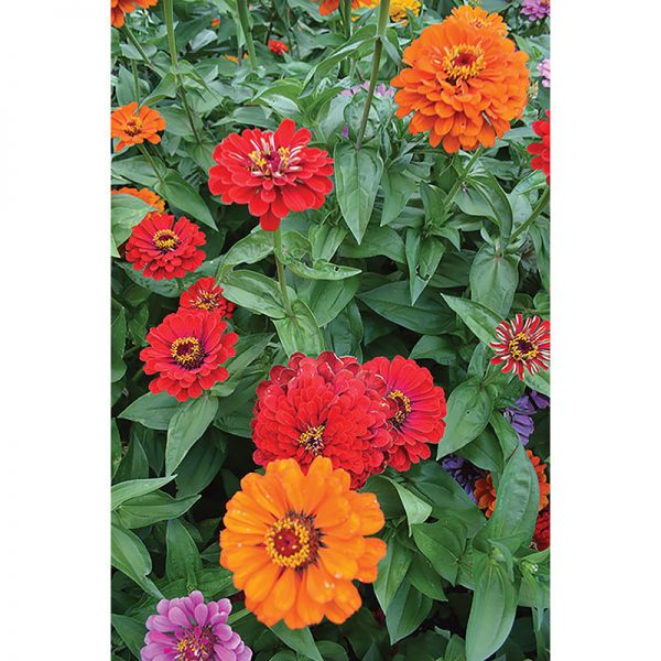 California Giants Zinnia