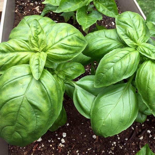 Amelia Genovese Type Basil Seeds