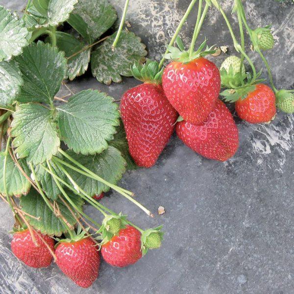 Formosa Italian Strawberry Seeds