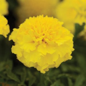 Hot Pak Yellow French Marigold Seeds