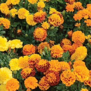 Hot Pak Mix French Marigold Seeds