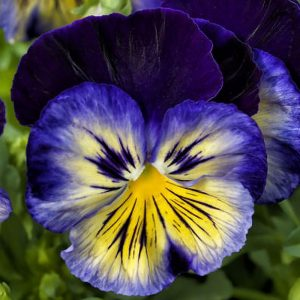 Delta Premium Blue Morpho Pansy Seeds