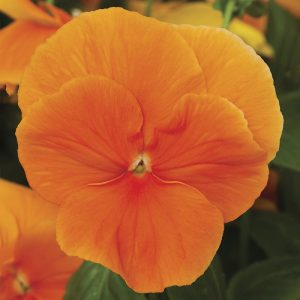 Delta Premium Pure Orange Pansy Seeds