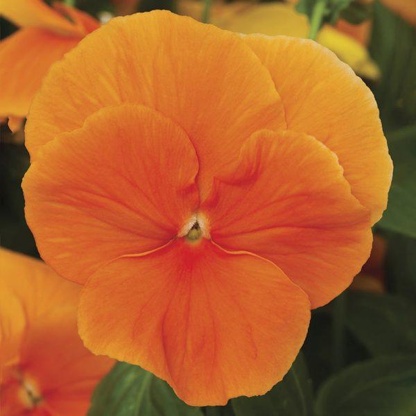 Delta Premium Pure Orange Pansy Seeds