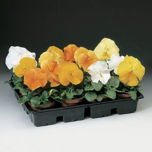 Delta Premium Citrus Mix Pansy Seeds