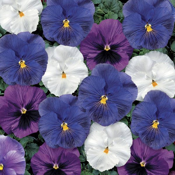 Delta Premium Cool Waters Pansy Seeds