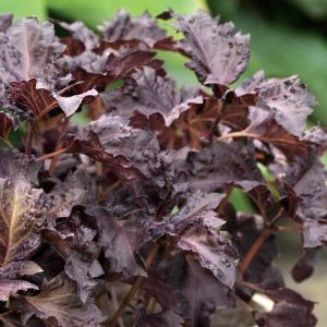 Purple Ruffles Basil Seeds
