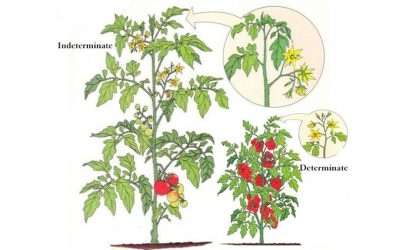 Tomatoes From Seed to Sauce – Part 3 – Tomato Characteristics – What Does That Word Mean?