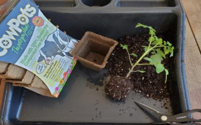 Tomatoes From Seed to Sauce – Part 6 – Thinning and Transplanting
