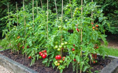Tomatoes – From Seed to Sauce Part 8 – Supports – Hold Me Up